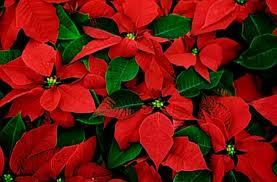 La Stella Di Natale Poesia.Pianta Di Natale Stella Di Natale Piante Natalizie Poesie
